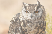 Spotted Eagle Owl2